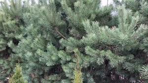 Дерево Сосна
