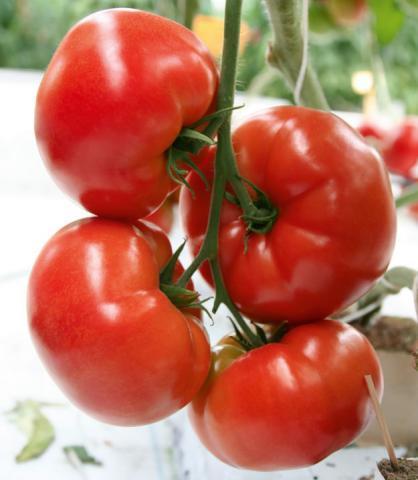 Каталог Баловень F1 семена томата индетерминантного (Гавриш) баловень.jpg