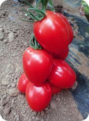 Пинк Пионер F1 семена томата индетерминантного (Sakata / Саката)