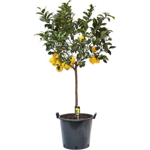 Цитрофортунелла Лимон штамб D46 H70