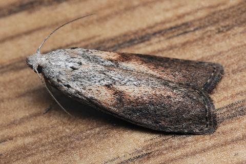 Бабочка огневки