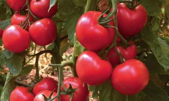 Томат Лагенда F1 семена томата индетерминантного (Syngenta / Сингента) лагенд.PNG