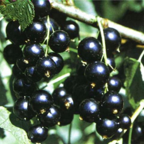 Смородина черная Черная жемчужина (2-летняя) ОКС
