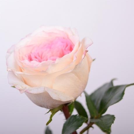 Розы пионовидные Mayra's Bridal Pink от 9шт