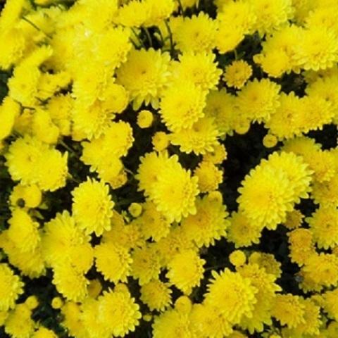 Хризантема мультифлора Bransound Lemon