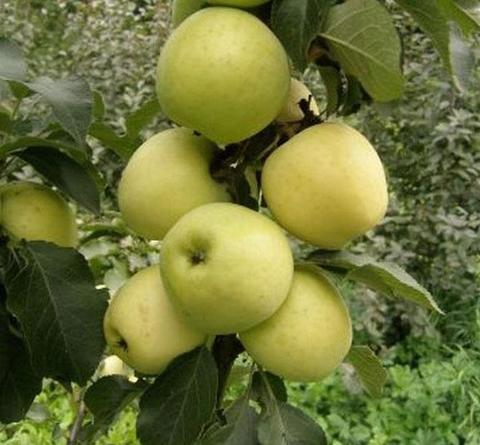 Яблоня колонновидная (подвой 54-118 полукарл.) Чебурашка