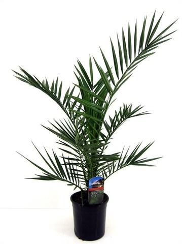 Финик канарский (Пальма) d 40