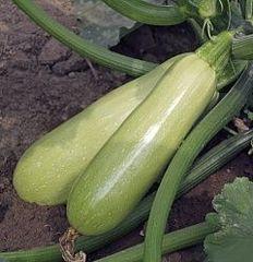 Адриелле F1 семена кабачка (Vilmorin / Вильморин)