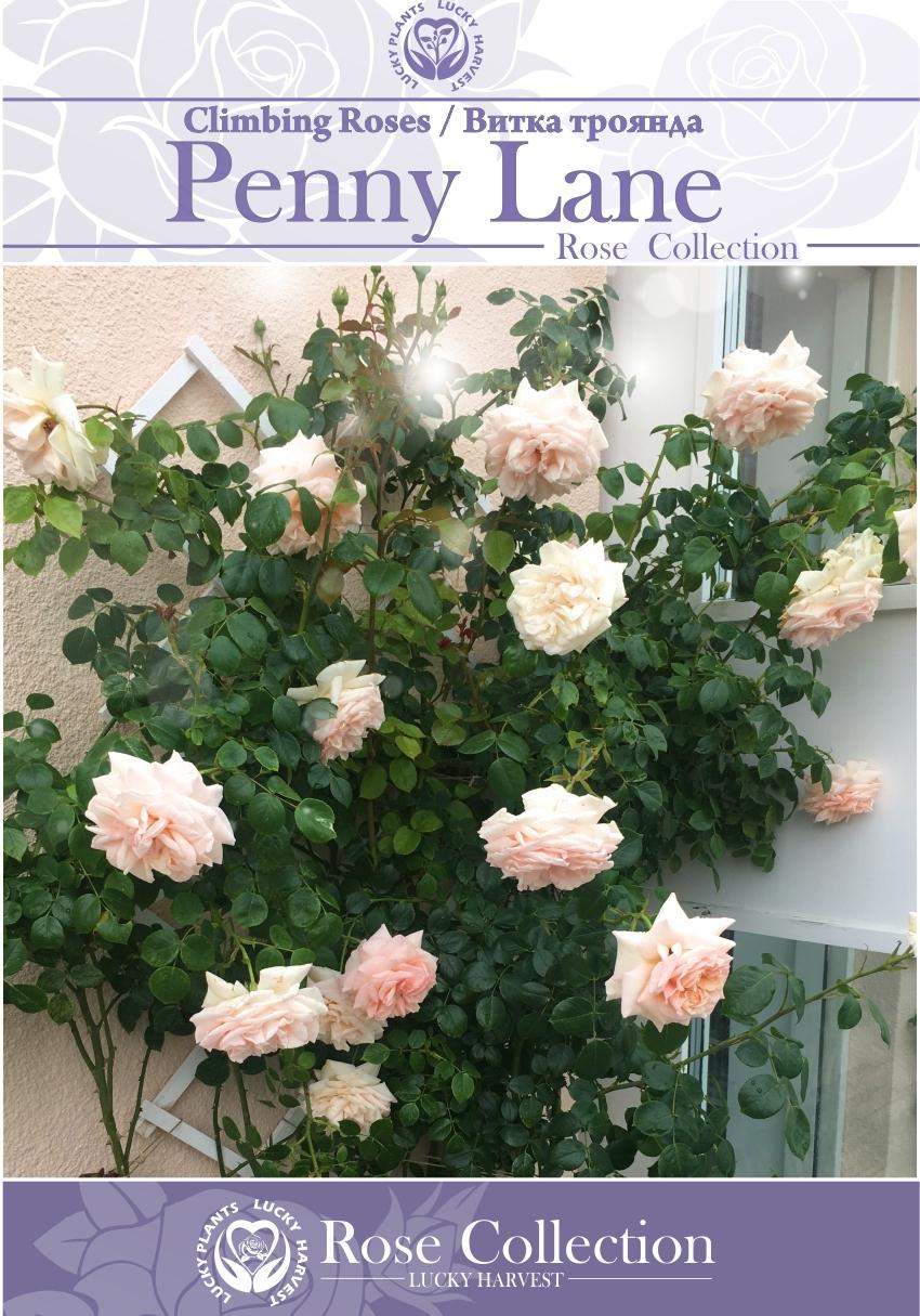 Троянда Витка Густомахрова