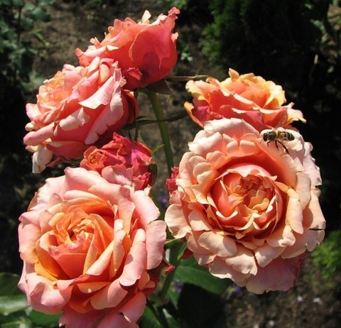 Роза чайно-гибридная Черри Бренди (в тубе)