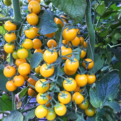 Саммер Сан F1 семена томата индетерминантного (Hazera / Хазера)