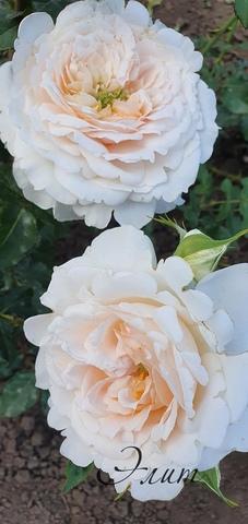 Ванила фрагранс(vanilla fragrance)