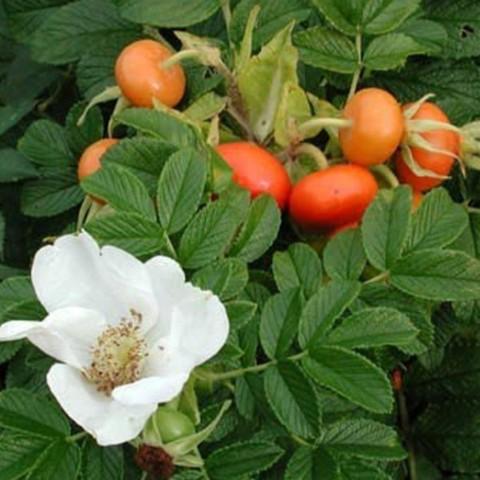 Шиповник (роза ругоза) морщинистый Альба С5 40-60 (18п)