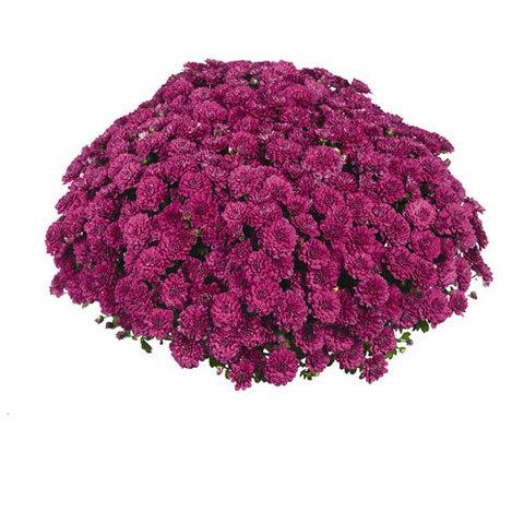 Хризантема мультифлора  Meridian Cherry Purple N 2095