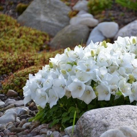 Колокольчик карпатский Clips White