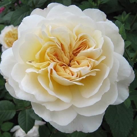 Роза английская душистая Крокус Роуз (Эмануэль), Дэвид Остин