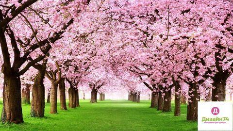 Цветы сакуры - отдушка косметическая, 10 мл