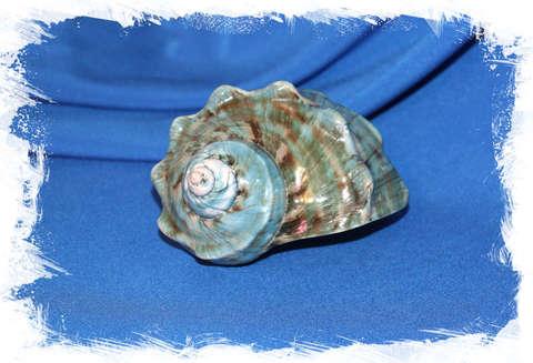 Турбо марморатус (Turbo marmoratus) 11 см.