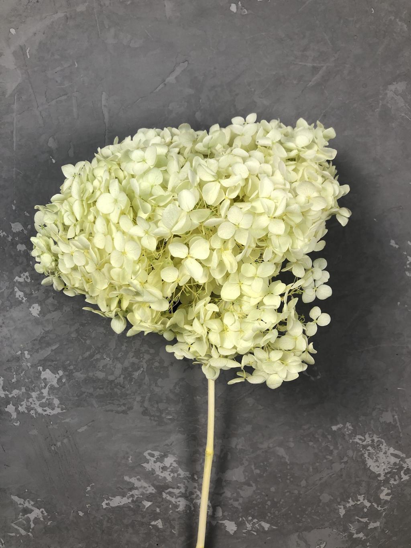 Гортензия на ветке салатовая