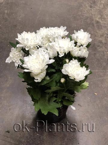 Хризантема Махровая Белая