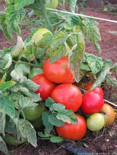 Каталог Баргузин F1 семена томата индетерминантного (Гавриш) баргузин.jpg