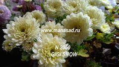 Хризантема мультифлора (шаровидная) Gigi Sno №2050