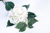 Бело-розовая гортензия.