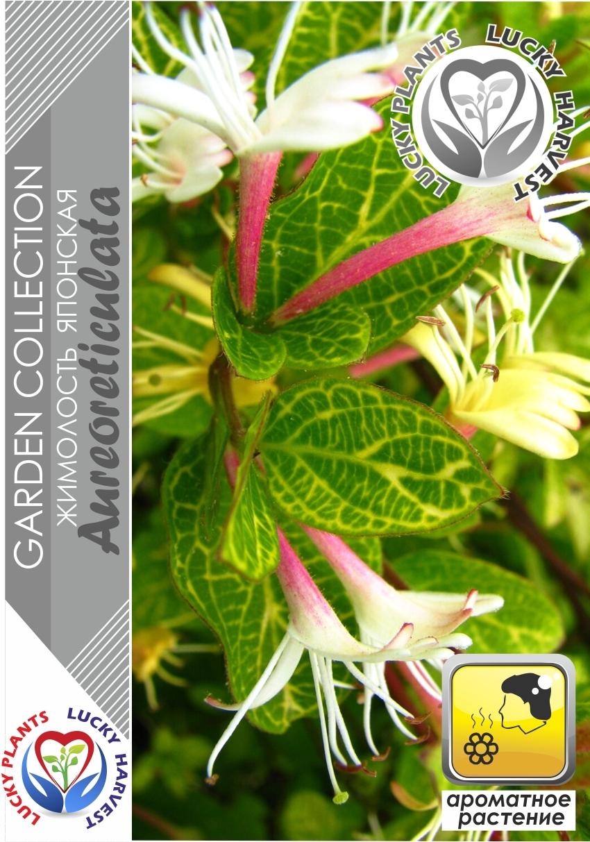 Жимолость японская золотисто-сетчатая  «АУРЕОРЕТИКУЛАТА»  (Lonicera japonica 'Aureoreticulata')  ТМ LUCKY HARVEST