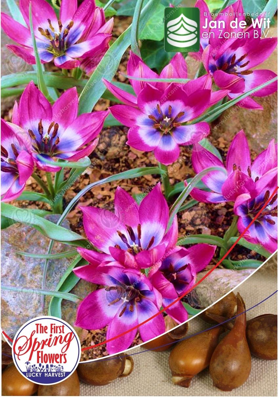 Луковицы Ботанического Тюльпана