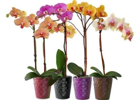 Орхидея Фаленопсис микс 1ветка
