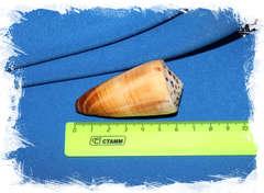 Conus ferrugineus размер