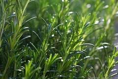 Бирюса семена розмарина (Гавриш)
