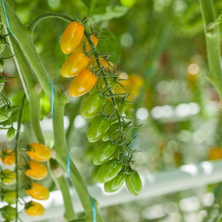 Rijk Zwaan Маджино семена томата индетерминантного (Rijk Zwaan / Райк Цваан) МАДЖИНО_F1.jpg