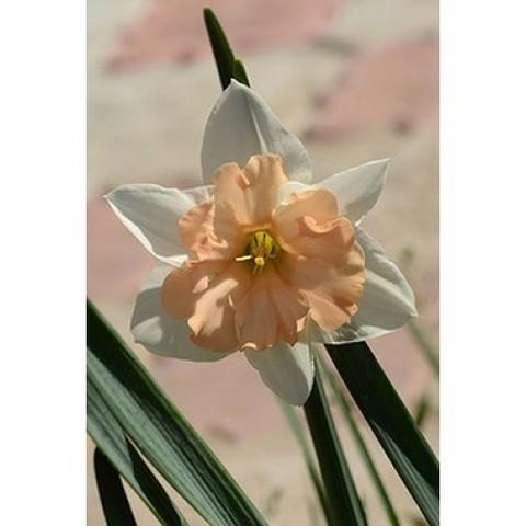 Нарцисс с расщепленной коронкой Герлпауэр 12/14 (5 штук)