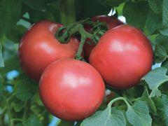 Пинк Трит F1 семена томата индетерминантного (Takii / Таки)