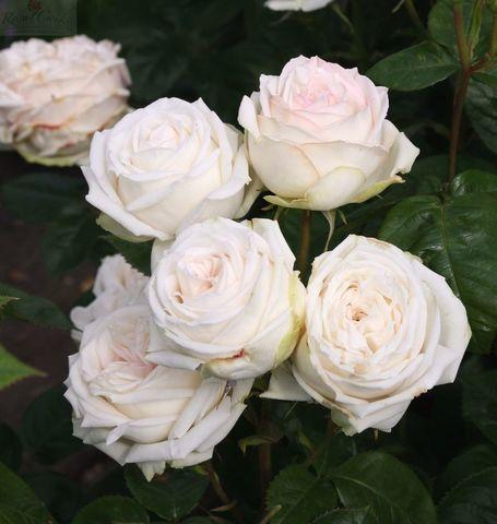 Роза чайно-гибридная Мадам Энизетт (в тубе)