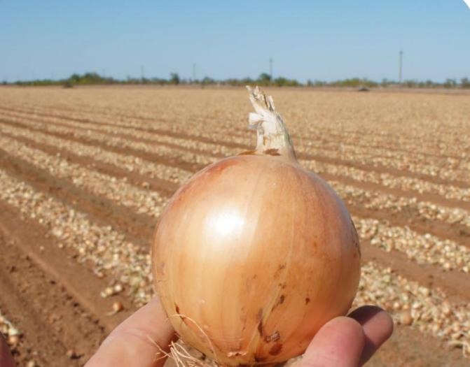 Репчатый Эвейшн F1 семена лука репчатого (Sakata / Саката) Снимок.PNG