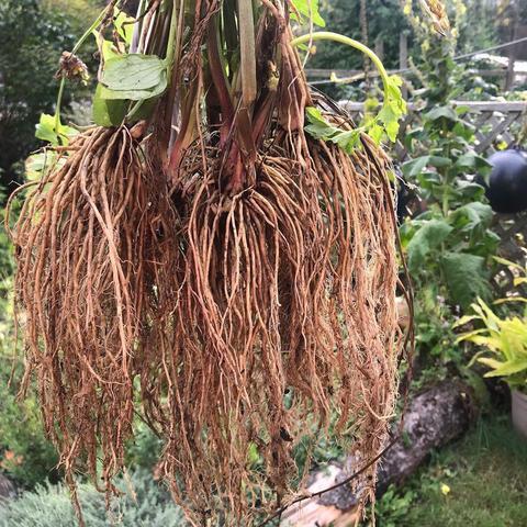 Валерианы корень