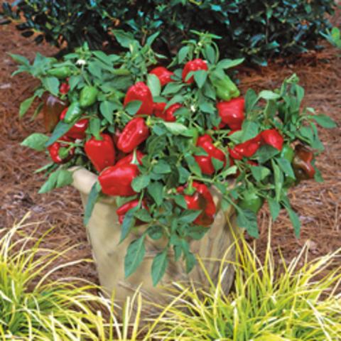 Перец сладкий (Краснокожий) Redskin