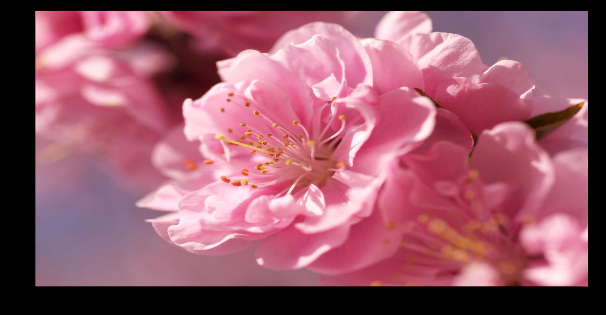 """Постеры Постер """"Нежно-розовый цветок"""" п66.png"""