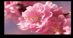 """Постер """"Нежно-розовый цветок"""""""