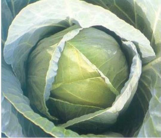 Белокочанная Тенесити F1 семена капусты белокочанной (Sakata / Саката) вапыкпукп.PNG