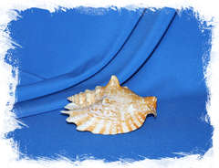 Волнистый стромбус, Strombus sinuatus