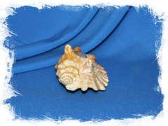 Стромбус синуатус (Sinustrombus sinuatus) 11 см. коллекц.