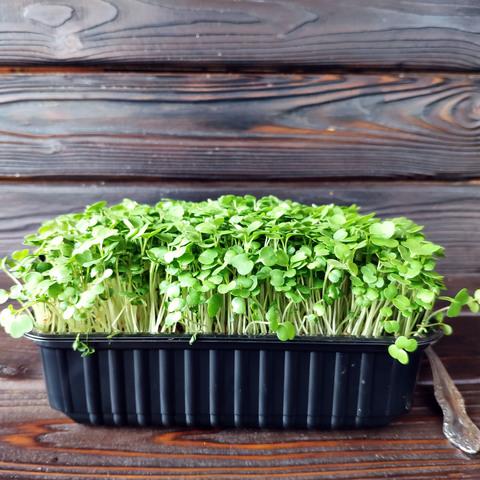 Фотография Кейл (кудрявая капуста) на корне (лоток) / 40 гр купить в магазине Афлора
