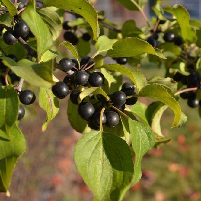 Семена Жостер, семена rhamnus-seed-01.jpg