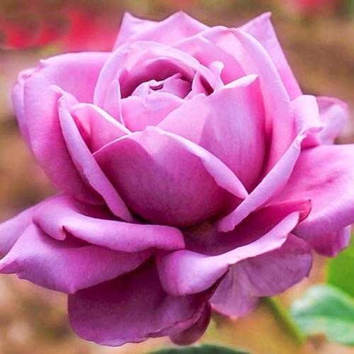 Роза чайно-гибридная Блю Парфюм