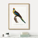 Джон Гульд - Beautiful parrots №12, 1872г.
