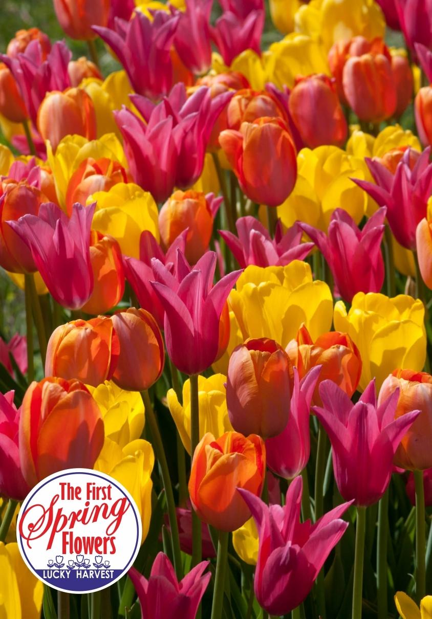 Тюльпан   Смесь Сортов  Spring Fragrance  ( Спринг Фрейджренс) 3 шт.  Jan de Wit en Zonen B.V. Нидерланды