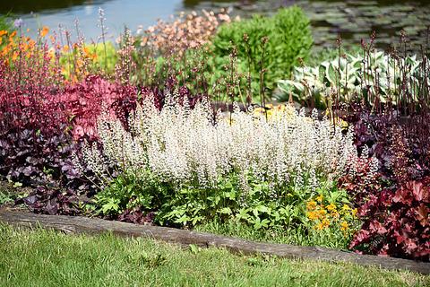 Обильно цветущая гейхерелла
